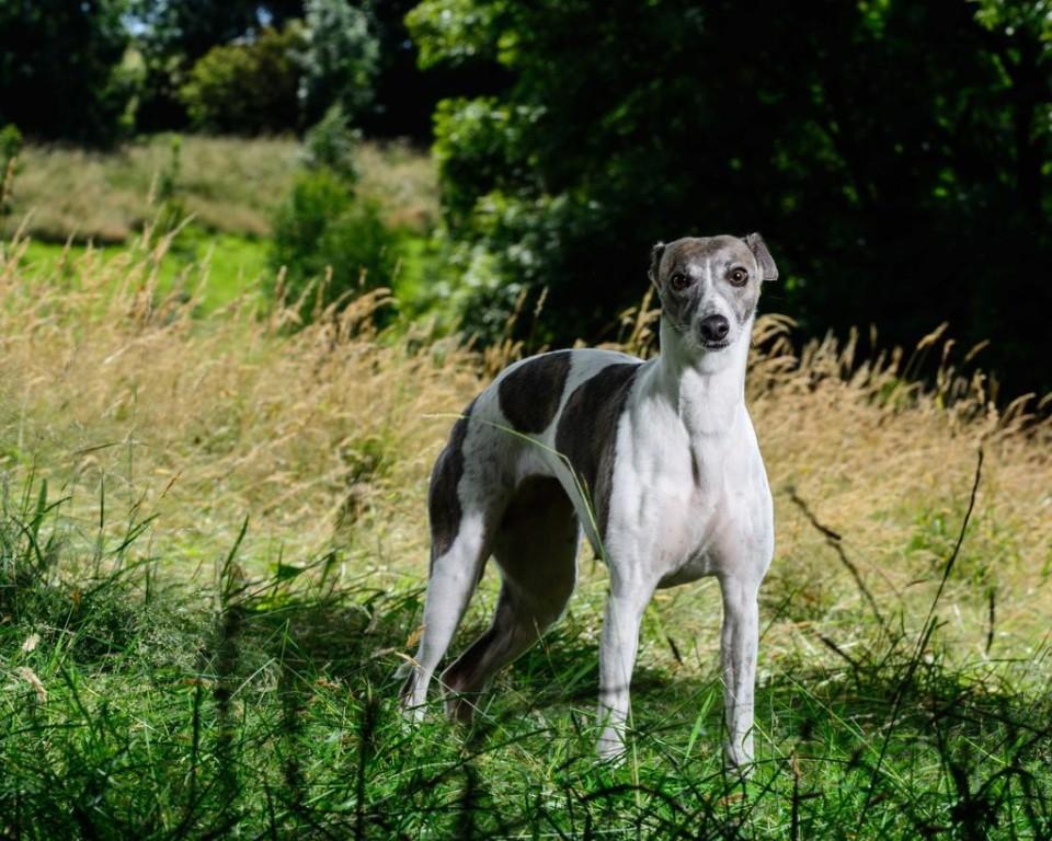 Whippet   Dog Photoshoot