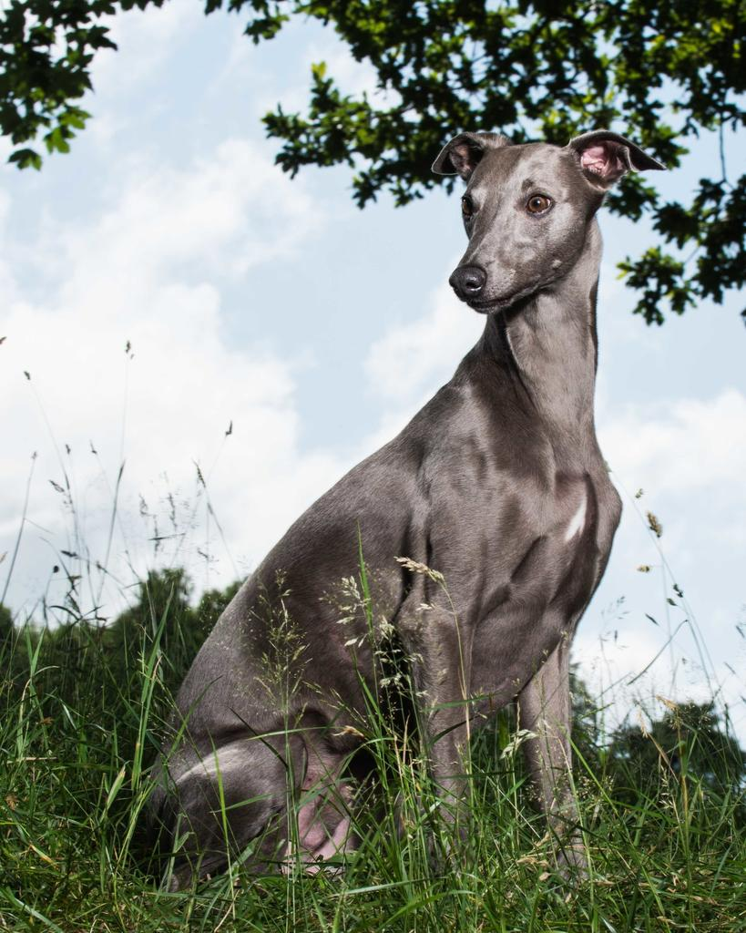 greyhound dog photography