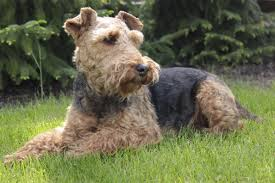 Welsh Terrier | Dog Photography