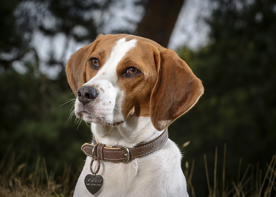 surrey dog photographer beagle